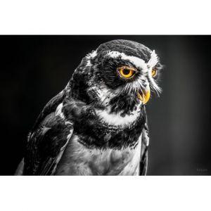 Mondiart Schilderij Grey Owl