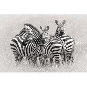 Mondiart Schilderij Zebras