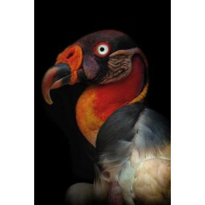 Mondiart King Vulture